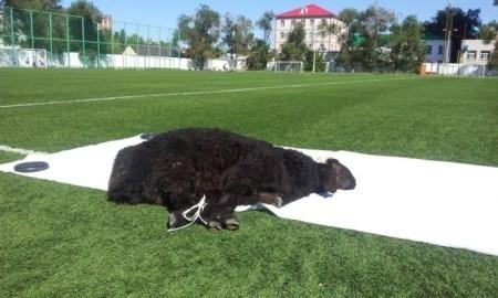 Сегодня в Уральске на стадионе футболисты ФК «Акжайык» принесут в жертву черную овцу