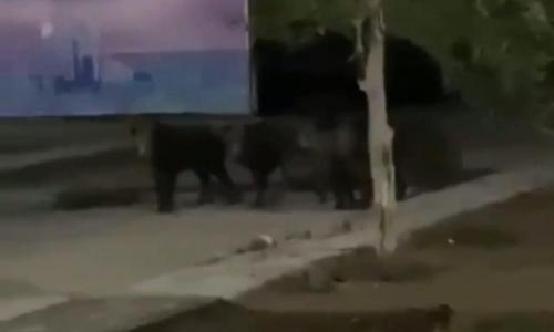 Семейство диких кабанов прогулялось в районе «Барыс Арены». Видео