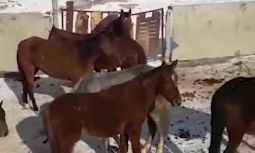 Шесть лошадей украли у олимпийского призера в Жамбылской области